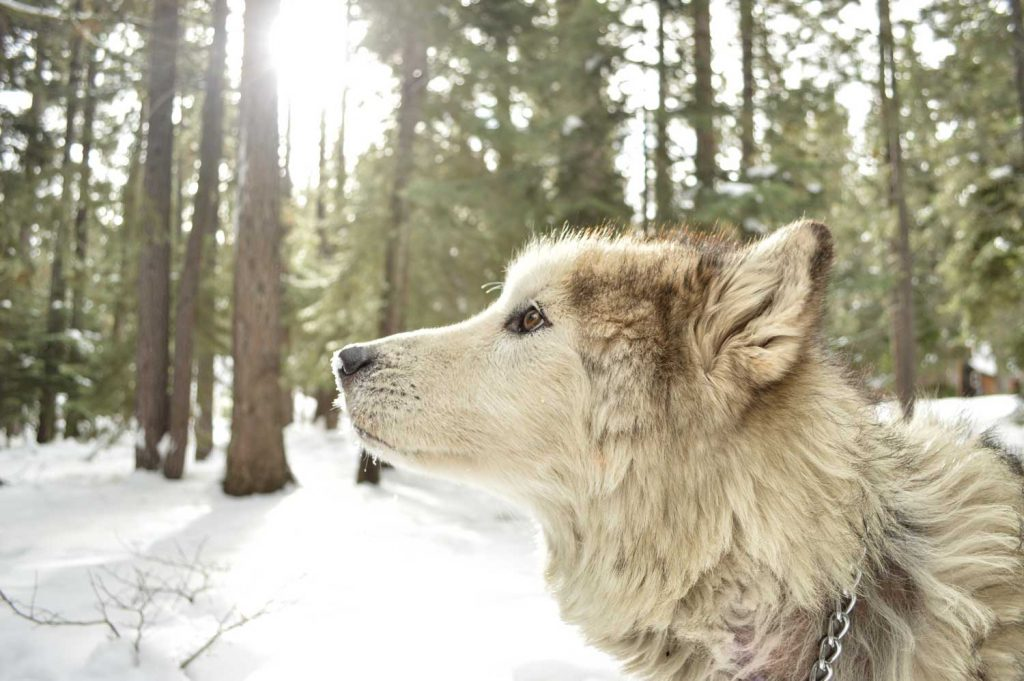 [A wolf kind of dog looks to the left of the screen. The woods and snow is seen in the background.]