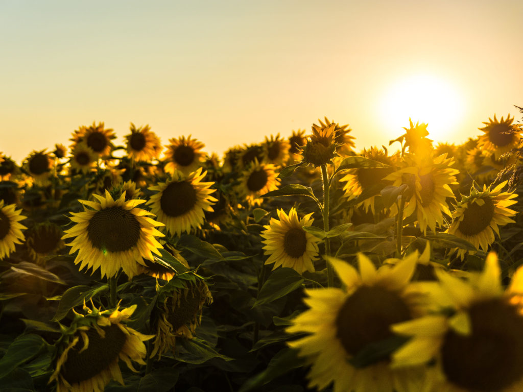 Sunflowers stand tall in various directions as the sun sets behind them on the right.